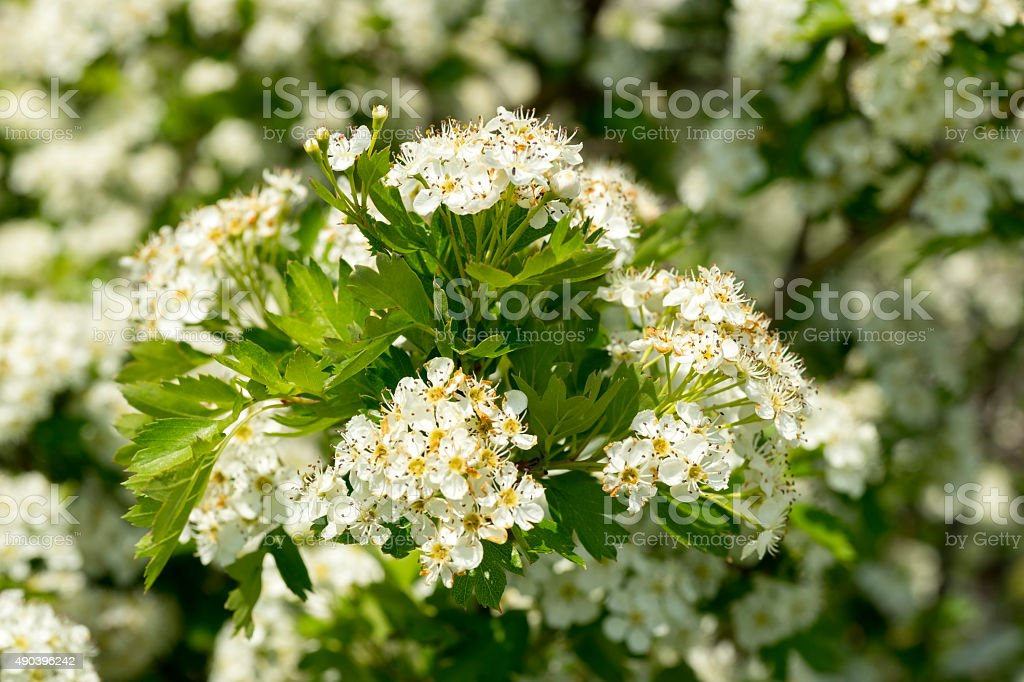 Blooming hawthorn Bush stock photo
