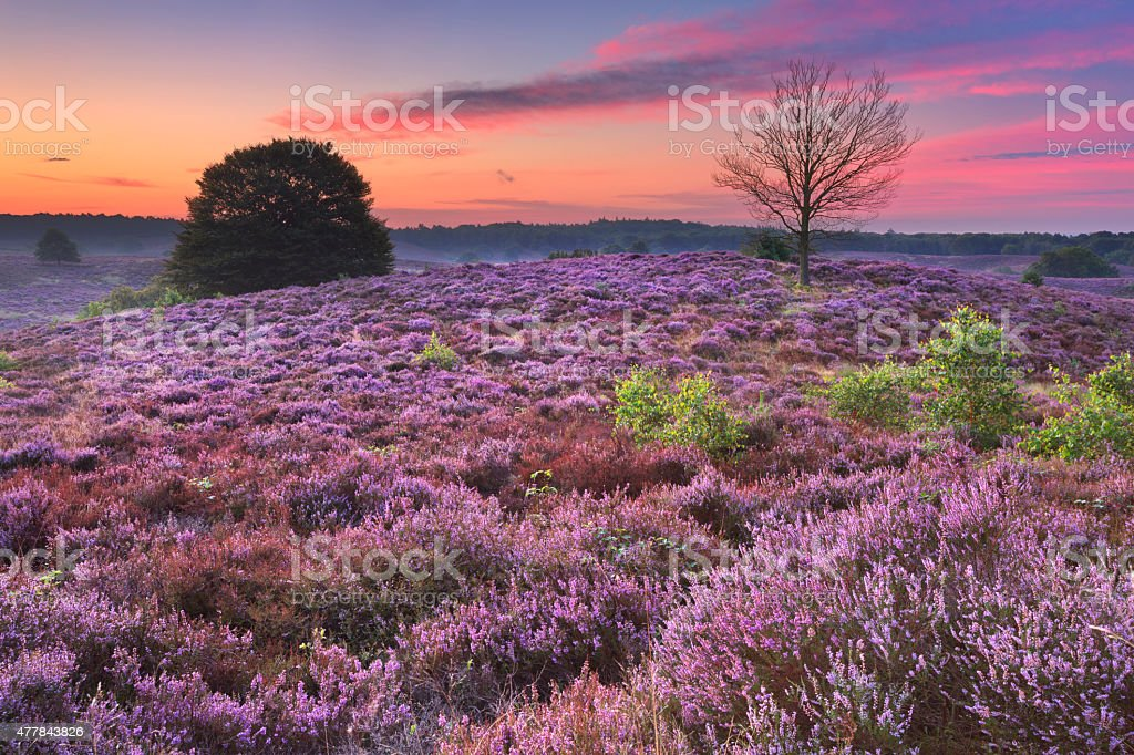 Blooming heather at dawn at the Posbank, The Netherlands stock photo