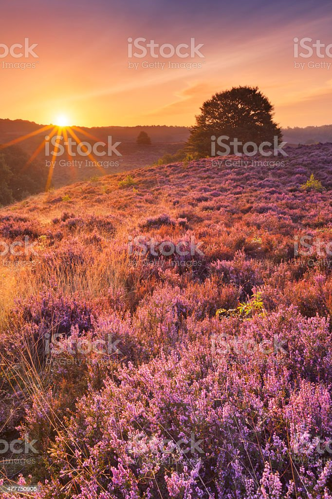 Blooming heather at sunrise at the Posbank, The Netherlands stock photo
