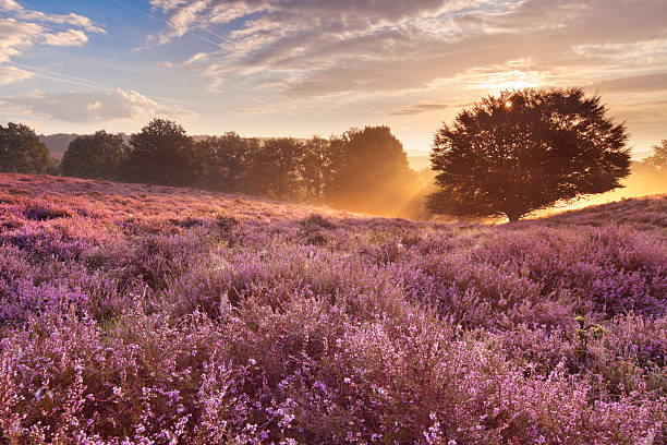 Blooming heather at sunrise, Posbank, The Netherlands stock photo
