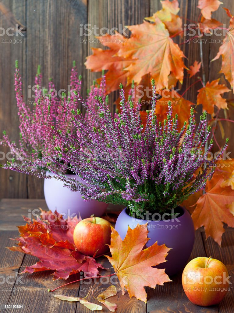 Blooming heather, colorful maple leaves and juicy fruits on a background of brown, wooden boards Blooming heather, colorful maple leaves and juicy fruits on a background of brown, wooden boards Amilto Heather Stock Photo