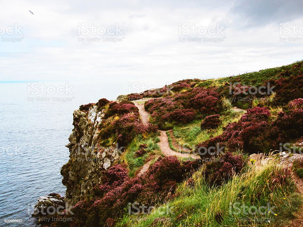 Blooming purple heather on the cliffs of Howth Head peninsula coast...