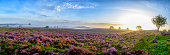 Blooming Heather plants in Heathland landscape during sunrise in summer. Wide panorama photo.
