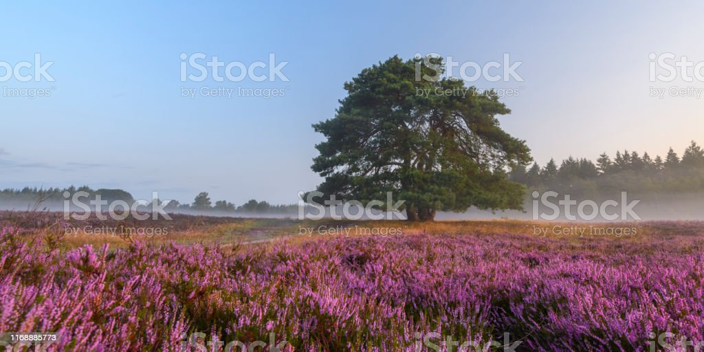 Blooming Heather plants in Heathland landscape during sunrise in summer Blooming Heather plants in Heathland landscape during sunrise in summer over the Renderklippen nature reserve at the Veluwe in Gelderland, The Netherlands. Agricultural Field Stock Photo