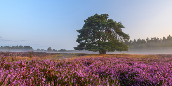Blooming Heather Plants In Heathland Landscape During Sunrise In Summer Stock Photo - Download Image Now