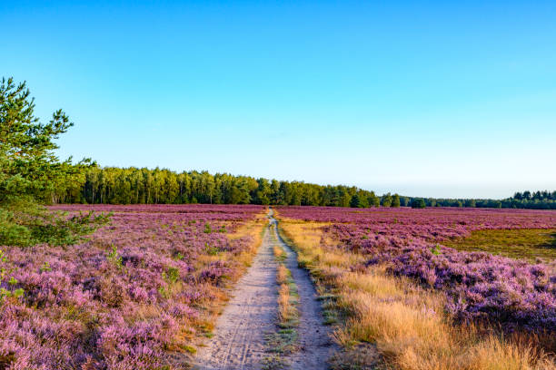 Blooming Heather plants in Heathland landscape during sunrise in summer - foto stock