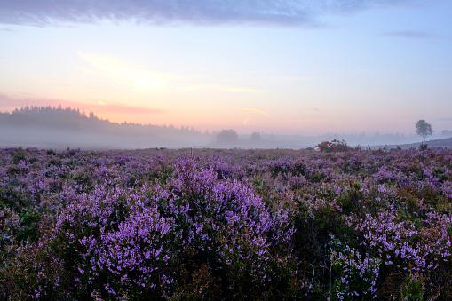 Blooming Heather plants in Heathland landscape during sunrise in summer