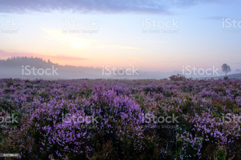 Blooming Heather plants in Heathland landscape during sunrise in summer stock photo