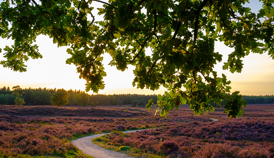 Blooming Heather plants in Heathland landscape during sunset in summer