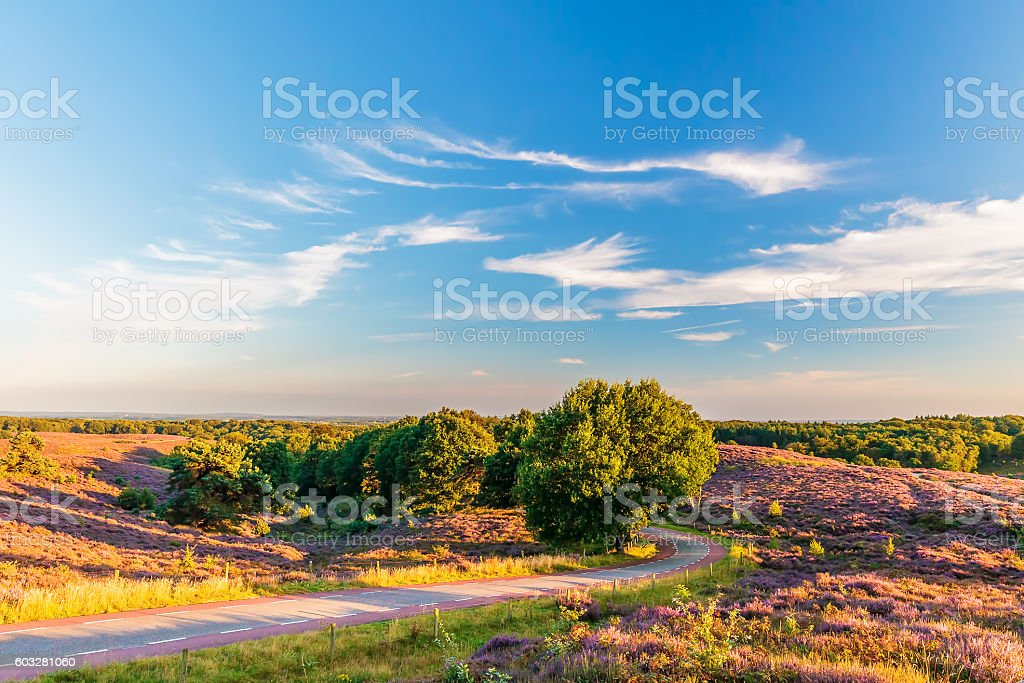 Blooming heathland with road at the Dutch Veluwe stock photo
