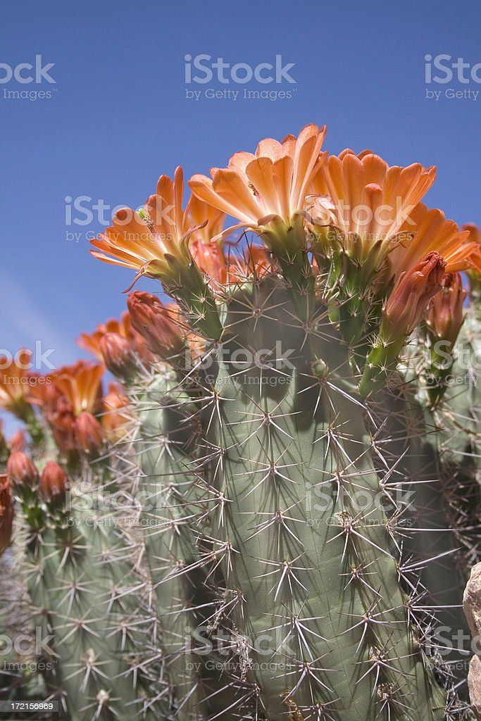 Blooming Hedgehog Cactus royalty-free stock photo
