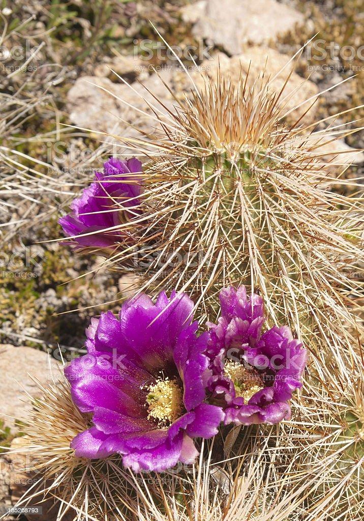 Blooming Hedgehog Cactus royalty-free stock photo