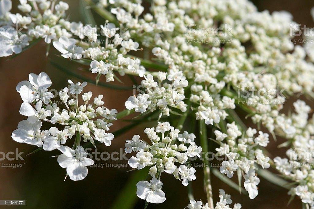 Blooming hemlock stock photo