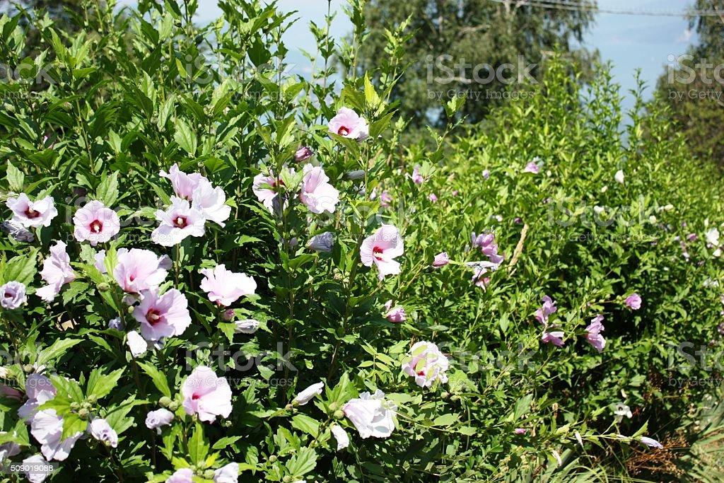 Photo libre de droit de Fleur Hibiscus Haie Sur Le Lac ...