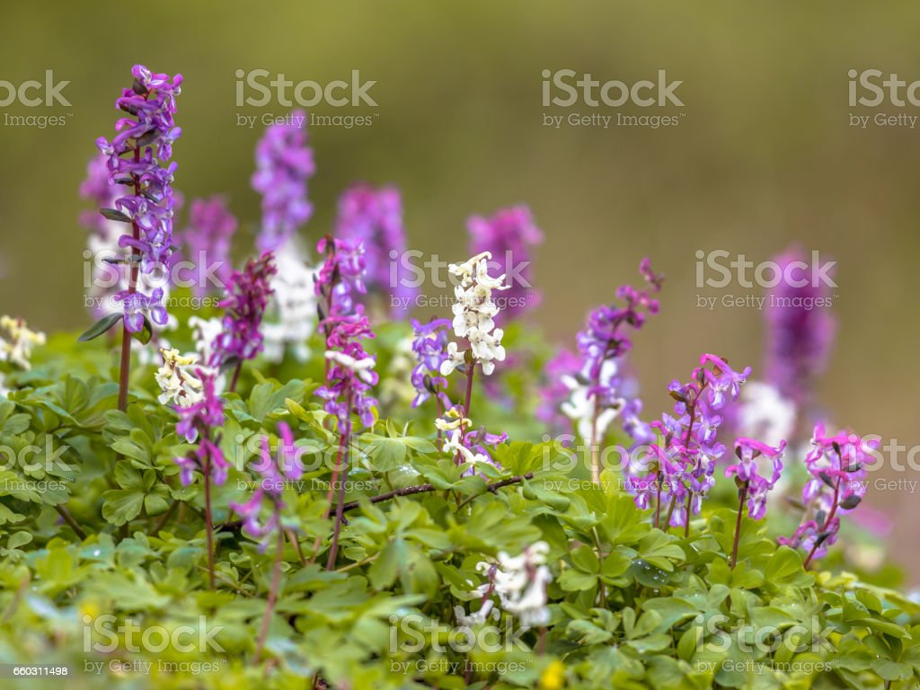 Blooming Hollowroot stock photo