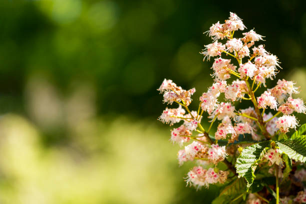 Royalty free horse chestnut pink flowers pictures images and stock horse chestnut pink flowers pictures images and stock photos mightylinksfo