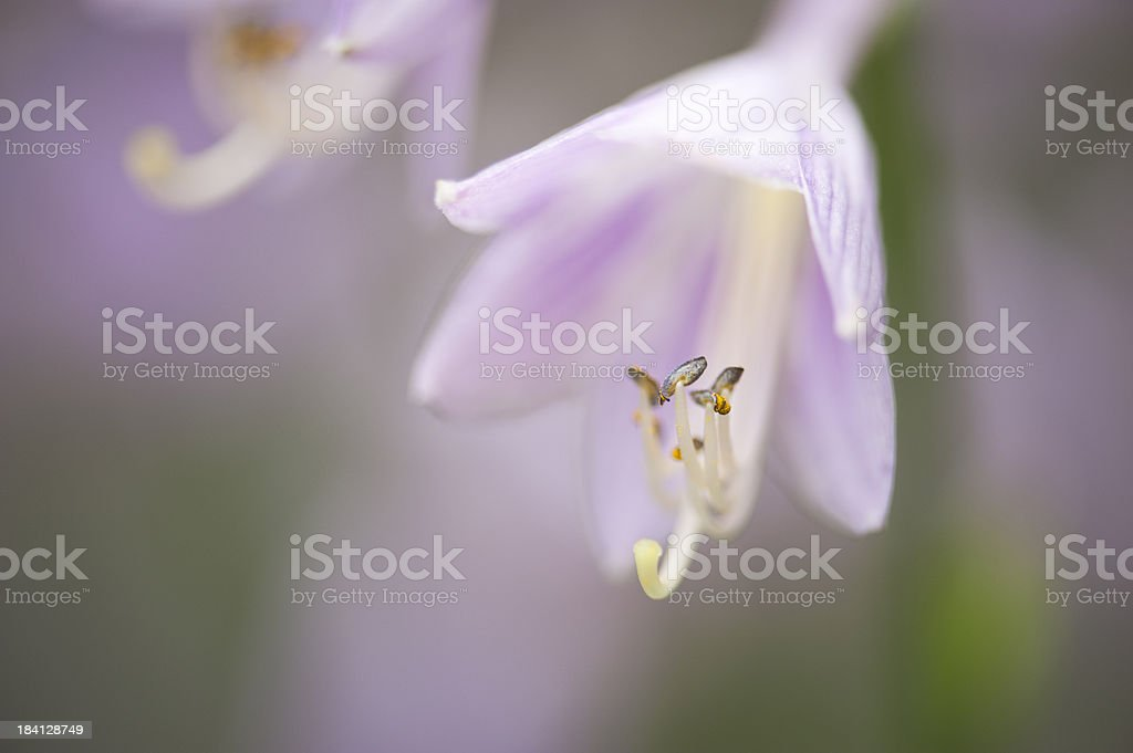 Blooming Hosta Plant royalty-free stock photo