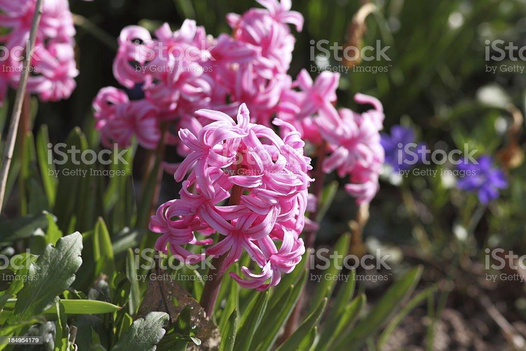 blooming hyacinth royalty-free stock photo