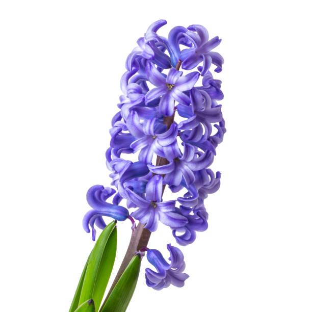 흰색 배경 클로즈업에 고립 된 히아신투스 꽃 - 히아신스 뉴스 사진 이미지