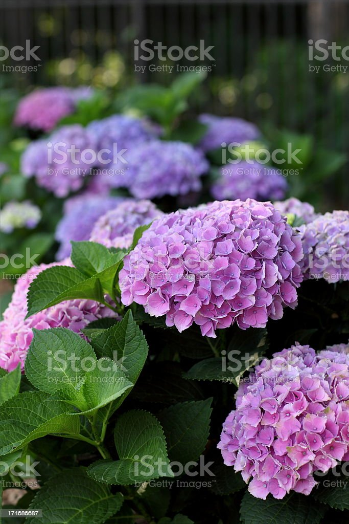 Blooming Hydrangea Bushes stock photo