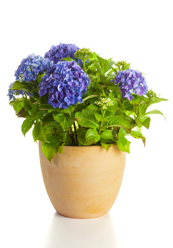 Blooming blue Hydrangea plant in flower pot isolated on white backgorund