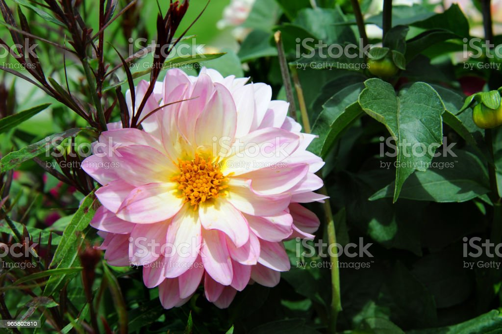 Blooming in a Garden - Royalty-free Beauty Stock Photo