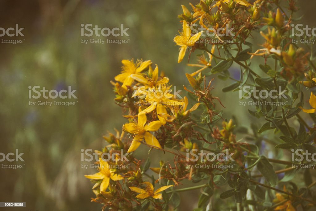 Blooming in July Hypericum. Medical Herbs of Russia stock photo