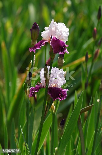 istock Blooming Iris Flowers 845926256