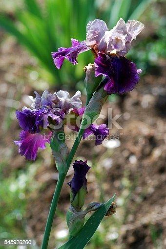 istock Blooming Iris Flowers 845926260