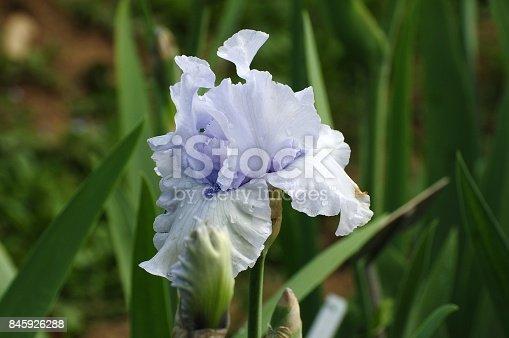 istock Blooming Iris Flowers 845926288