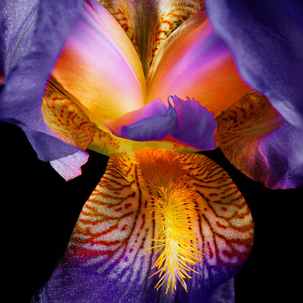 blooming iris on black - iris flower stock photos and pictures