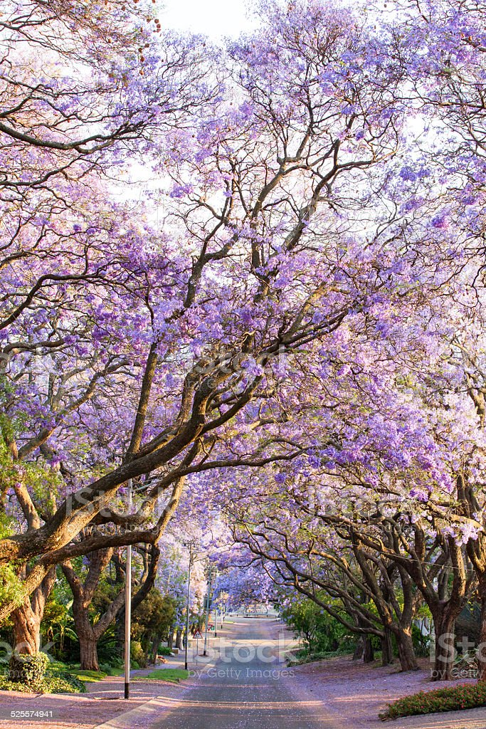 Blooming jacaranda trees lining the street in South Africa's cap stock photo