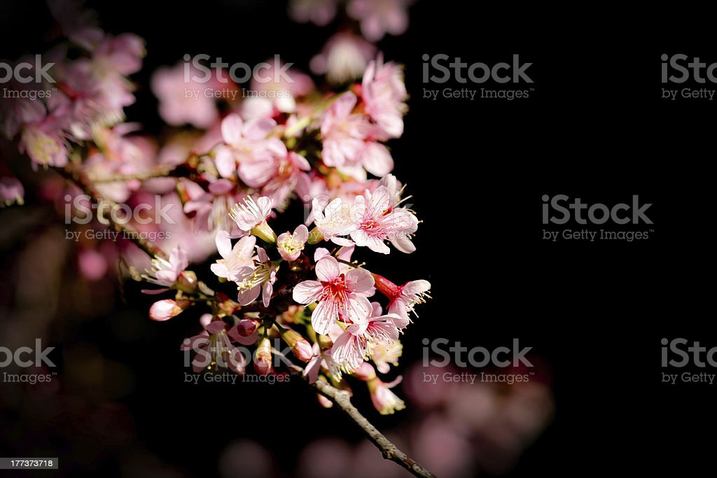 Blooming Japanese Cherry royalty-free stock photo