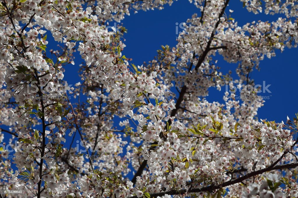 Cerisier japonais en fleurs photo libre de droits