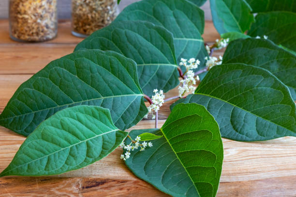 blooming japanese knotweed branch - japanese knotweed stock pictures, royalty-free photos & images