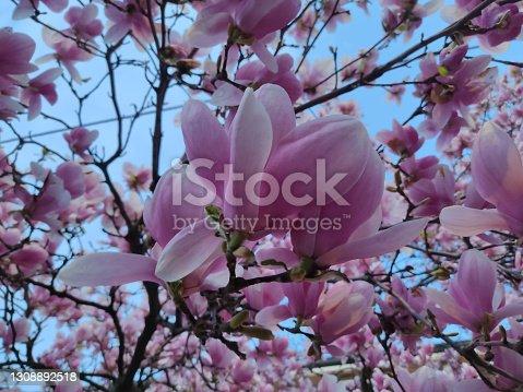 istock Blooming japanese magnolia flowers closeup 1308892518