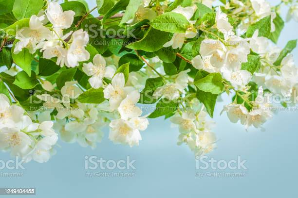 Blooming jasmine branch on a blue background with copy space picture id1249404455?b=1&k=6&m=1249404455&s=612x612&h=pxeul75wfsxdv56o5 emsibowrn8envv3xv 8yd7bg4=