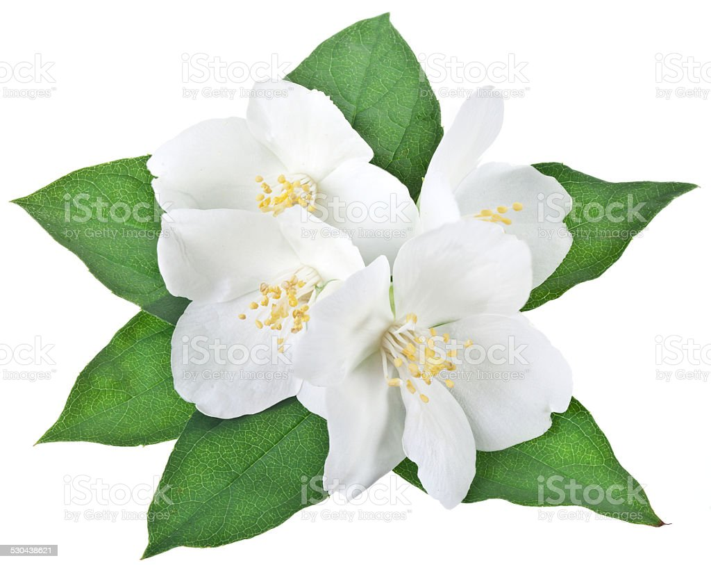Blooming jasmine flower with leaves. stock photo