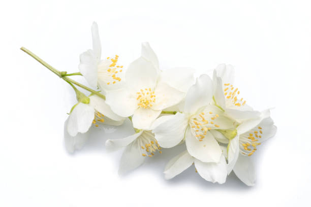 Blooming jasmine flowers isolated on white background. stock photo
