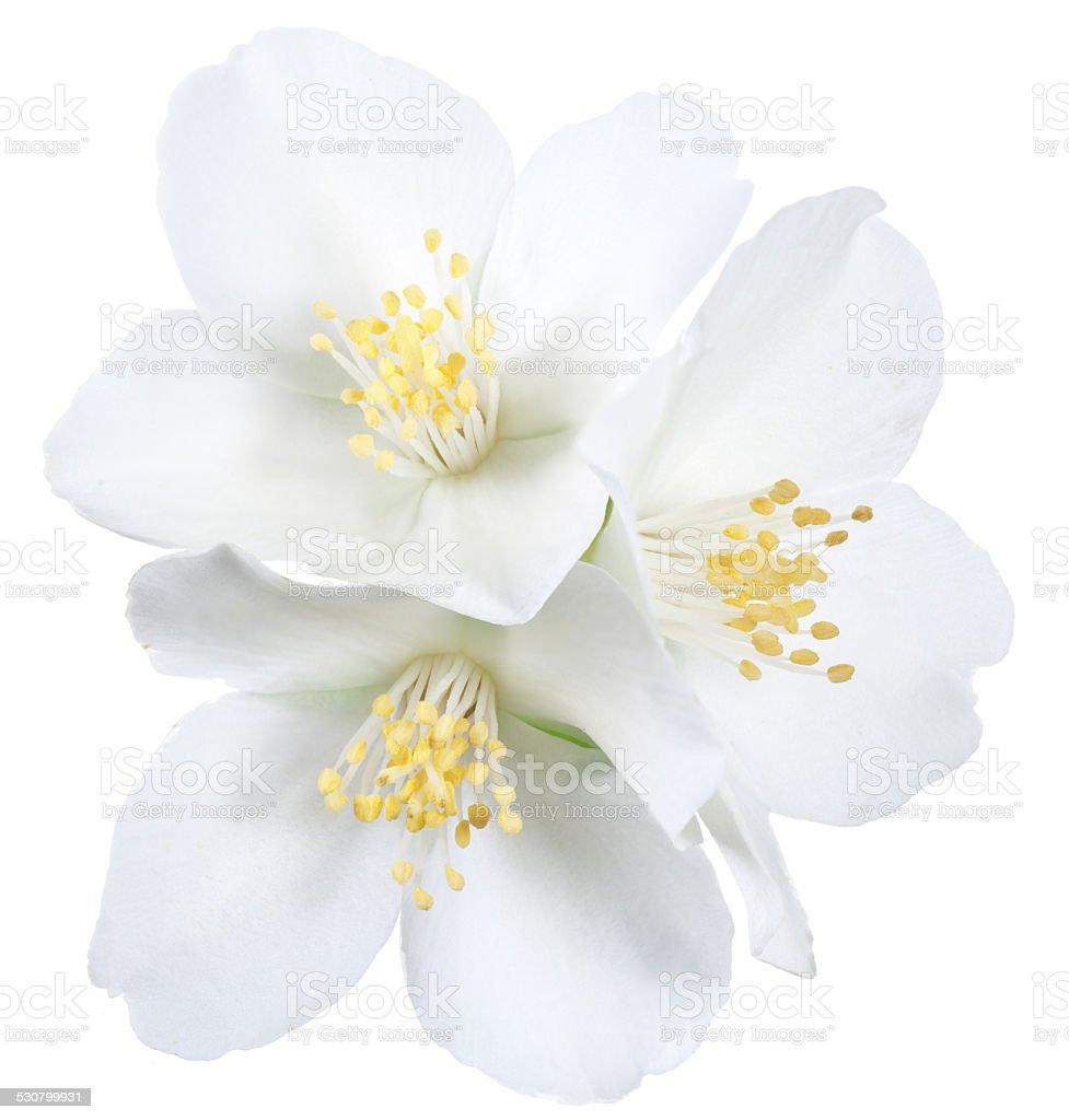 Blooming jasmine flowers. stock photo