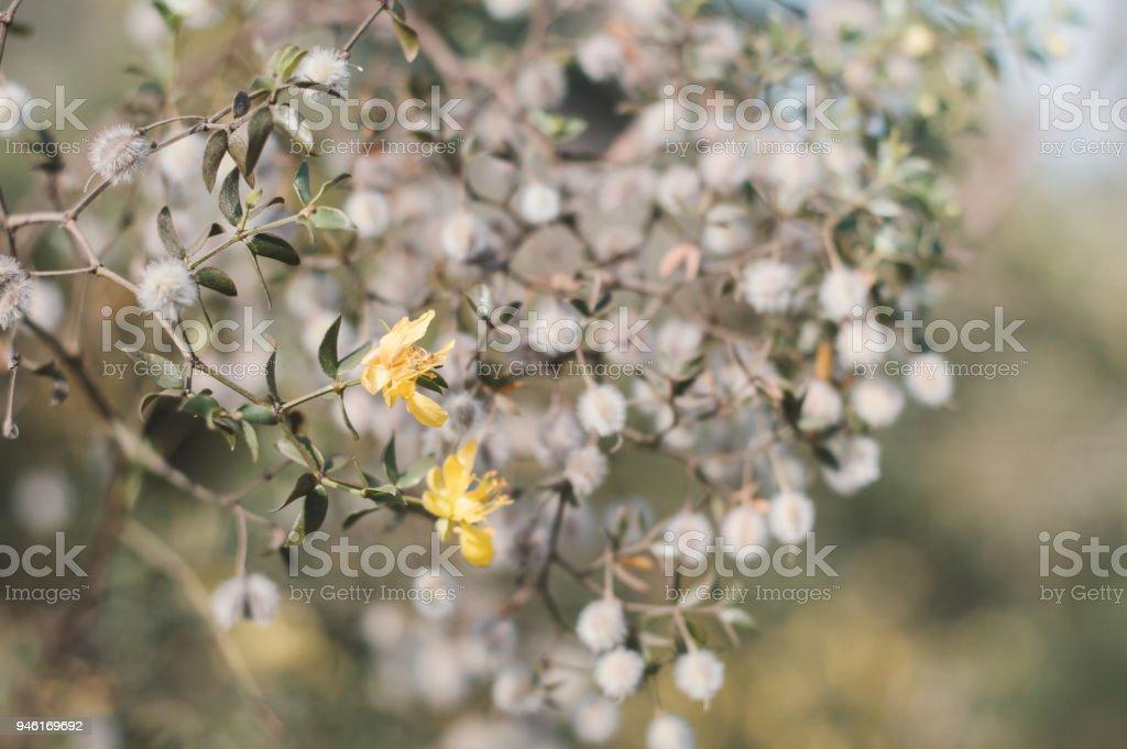Blooming Larrea tridentata plant. Small yellow flowers of creosote bush stock photo