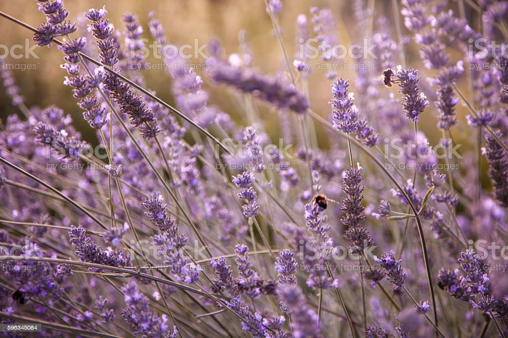 blooming lavender field in the evening sunlight Lizenzfreies stock-foto