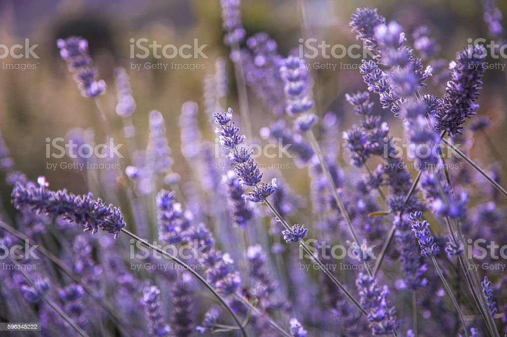 blooming lavender field in the evening sunlight royalty-free stock photo