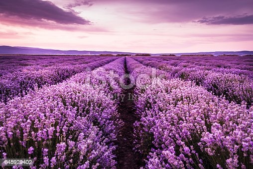 istock Blooming lavender field under the purple colors of summer sunset 645929402