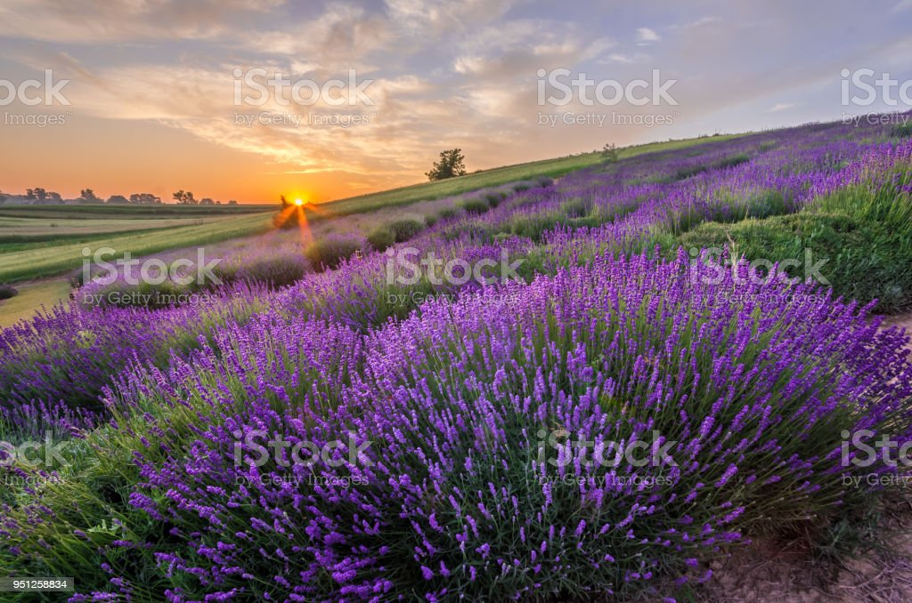 Blühender Lavendel Felder in Polen, schönem Sonnenaufgang – Foto