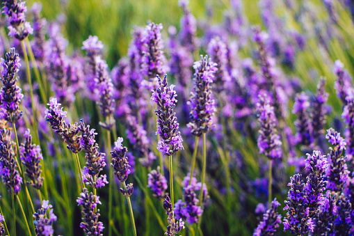 Close up of blooming lavender flowers in a field in summer