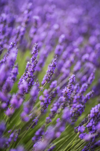 Close-up of lavender from France in summer cultivated in Brihuega, Spain