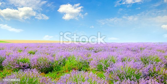Blooming lavender in a field on a background of blue sky. Agricultural landscape. Wide photo.