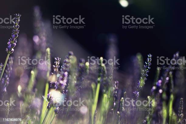 Blooming lavender on dark background picture id1162808976?b=1&k=6&m=1162808976&s=612x612&h= wdrhj367qa1q1brahlg5bvxxi1qeyo47rc2hbr3g3q=