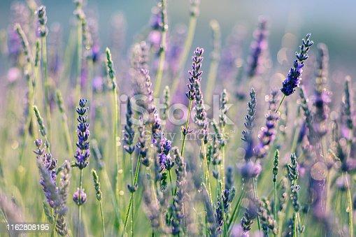 Delicate lavender flowers in bloom